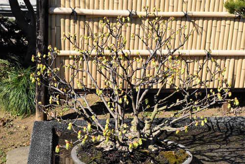 土佐水木,bonsai