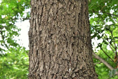 Japanese alder,picture