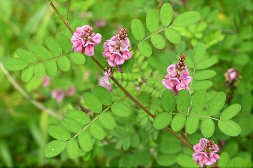 こまつなぎの花