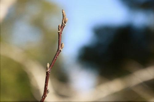 コブシの新芽
