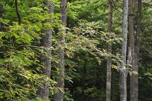 サンショウの木 画像