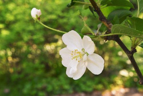 姫林檎の花 画像