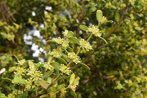 開花時期,柘植,つげの木