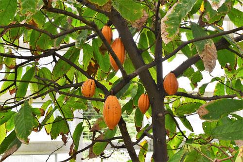 かかおの木の実