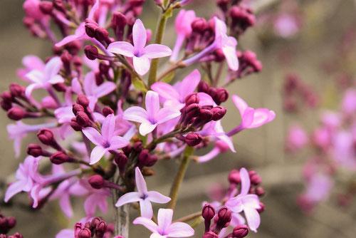 香りのある花,らいらっく