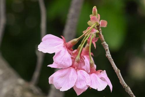 おすすめの桜