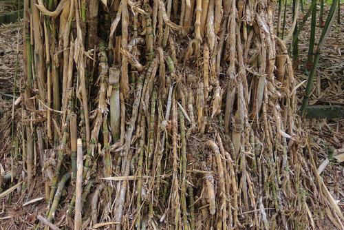 okinawa bamboo