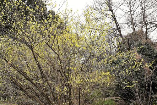 匂い土佐水木の開花時期の画像