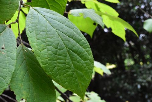 亜米利加麻殻 樹木 葉