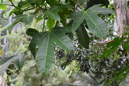 青桐の種類