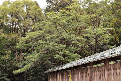 Japanese Banana bush