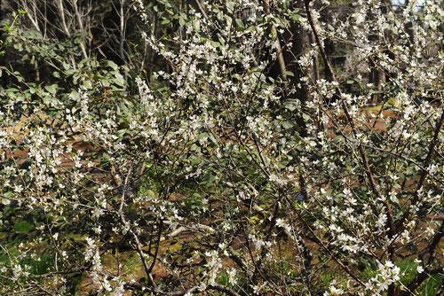 ユスラウメ 花の時期
