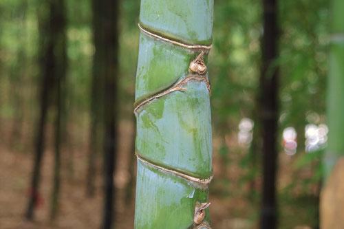 布袋竹の悍