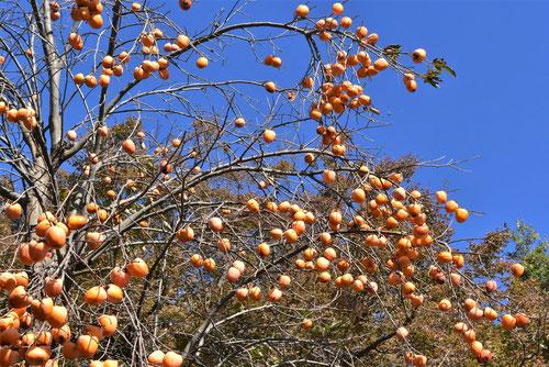 柿の木の画像,実