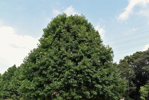 赤柏 赤槲 樹木