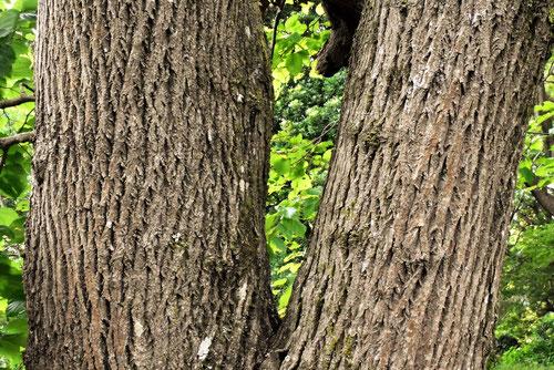 ケンポナシの樹皮 画像