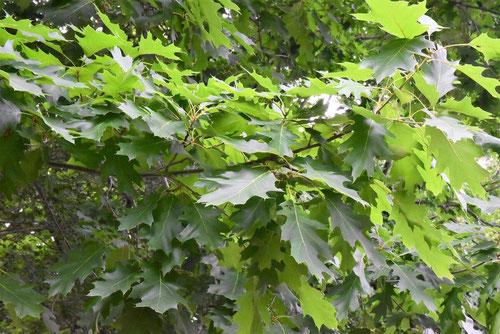アメリカガシワ,ピンオーク,葉っぱ