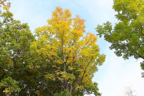 ライデンボク,黄葉