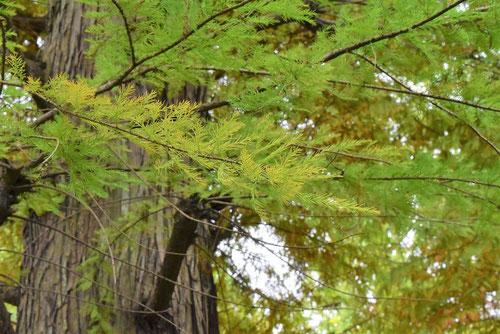 枝垂れラクウショウ 紅葉