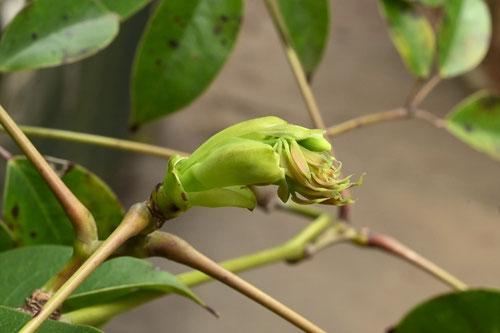 むべ,植物,花
