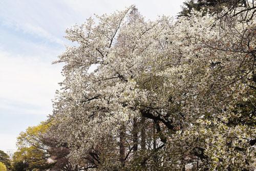 大島桜,おおしまざくら