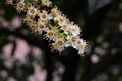 くろばいの木の花