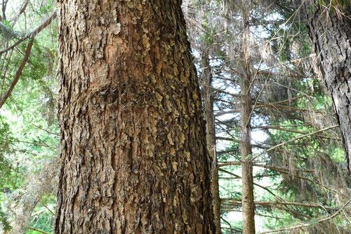 ユサン 樹木