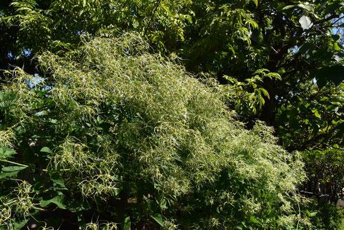仙人草,植物