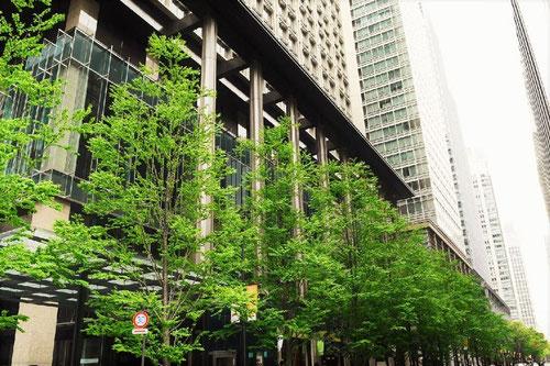 桂の木,並木