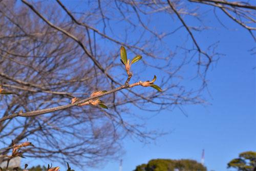 ヤマツツジ 冬芽