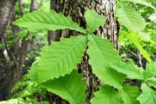 楢の木の葉,みずなら
