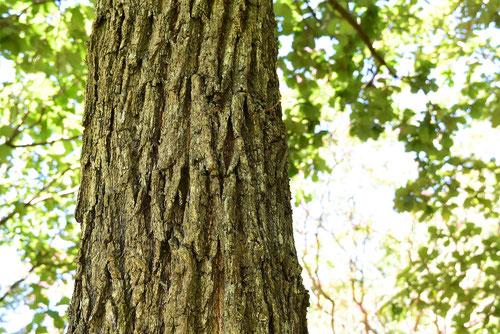 柏の幹,画像