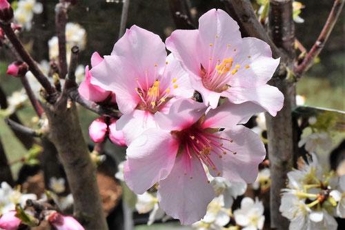 アーモンドの花,画像