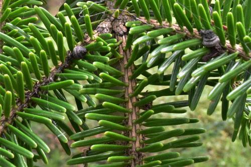 ウラジロモミ,枝葉