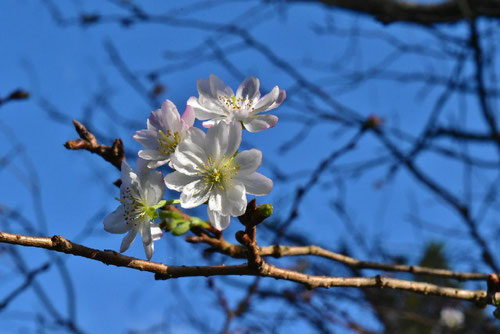 冬桜,名所