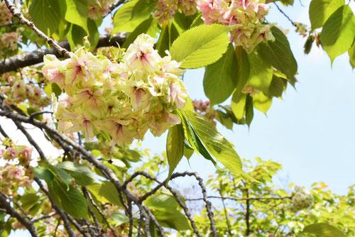 緑色のサクラ,sakura