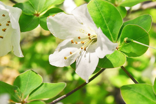 シロヤシオツツジ 開花時期