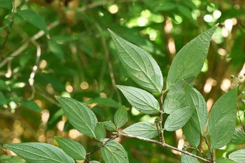 裏白空木の葉