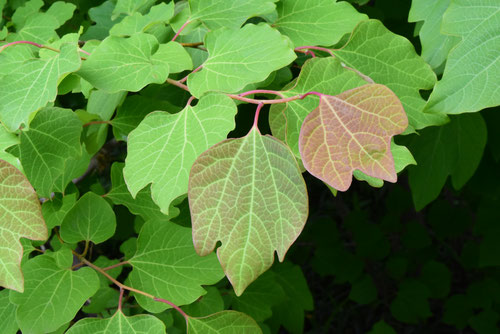Japanese spicebush,leaves
