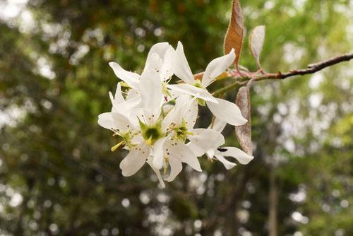 ザイフリボクの花,画像