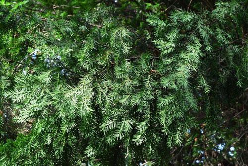 European yew tree in Japan