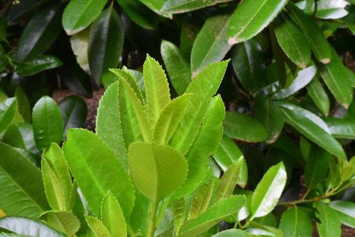 タラヨウ ハガキの木