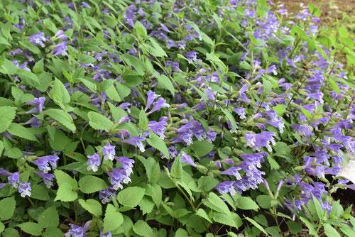 Meehan's mint,flower