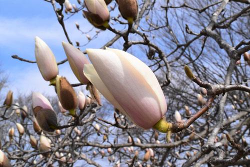 木蓮の種類
