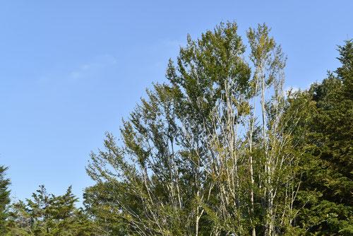 ブナの木の画像