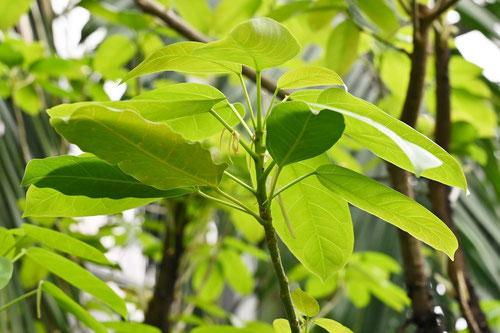 アコウの木,若葉