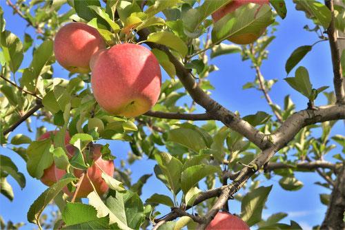 林檎の木の特徴