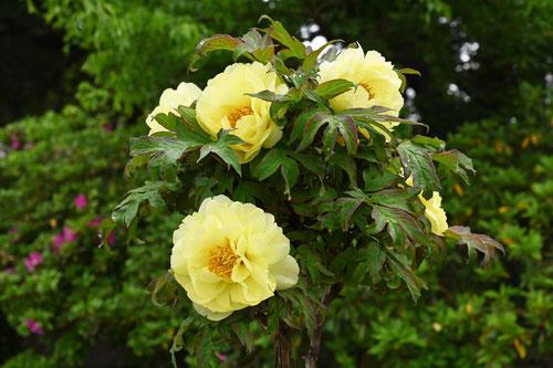牡丹の花の種類