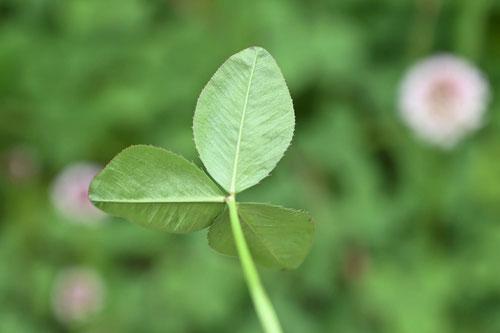 白詰草,植物図鑑