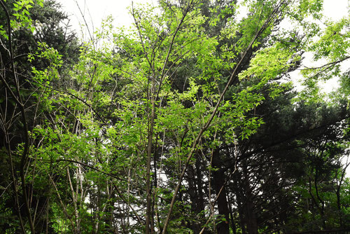 みつばうつぎの木の高さ